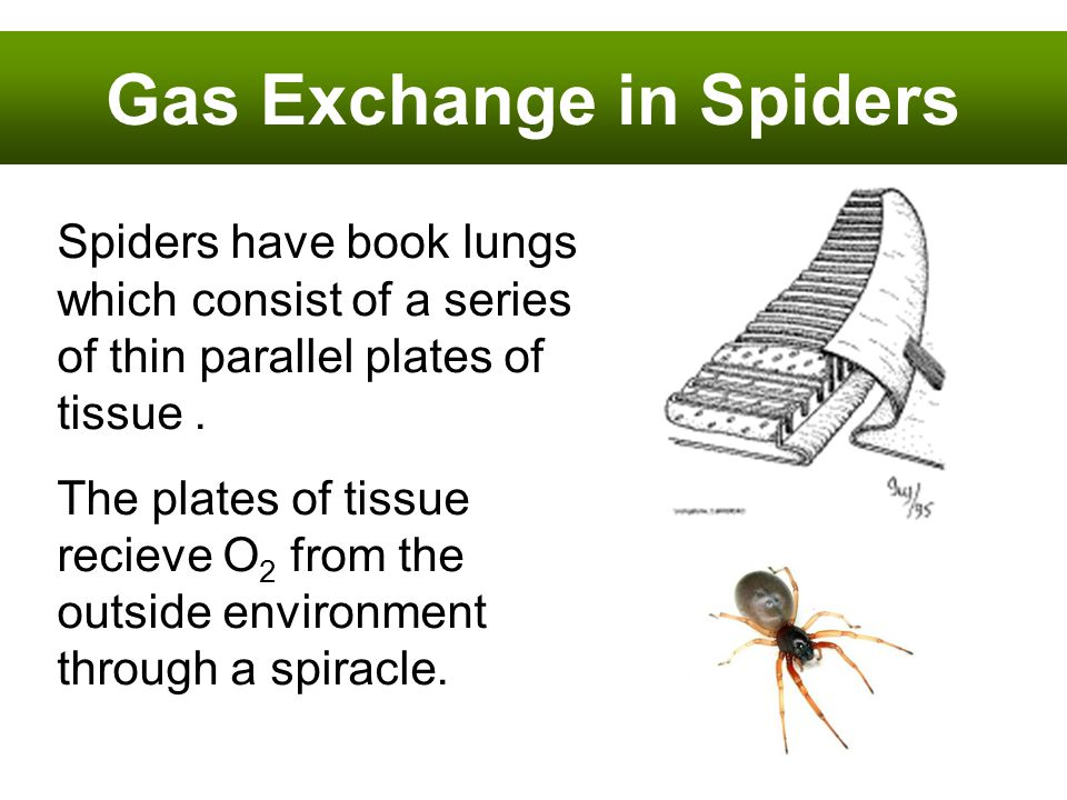 Gas Exchange in Spiders Spiders have book lungs which consist of a series of thin parallel plates of tissue. The plates of tissue recieve O 2 from the