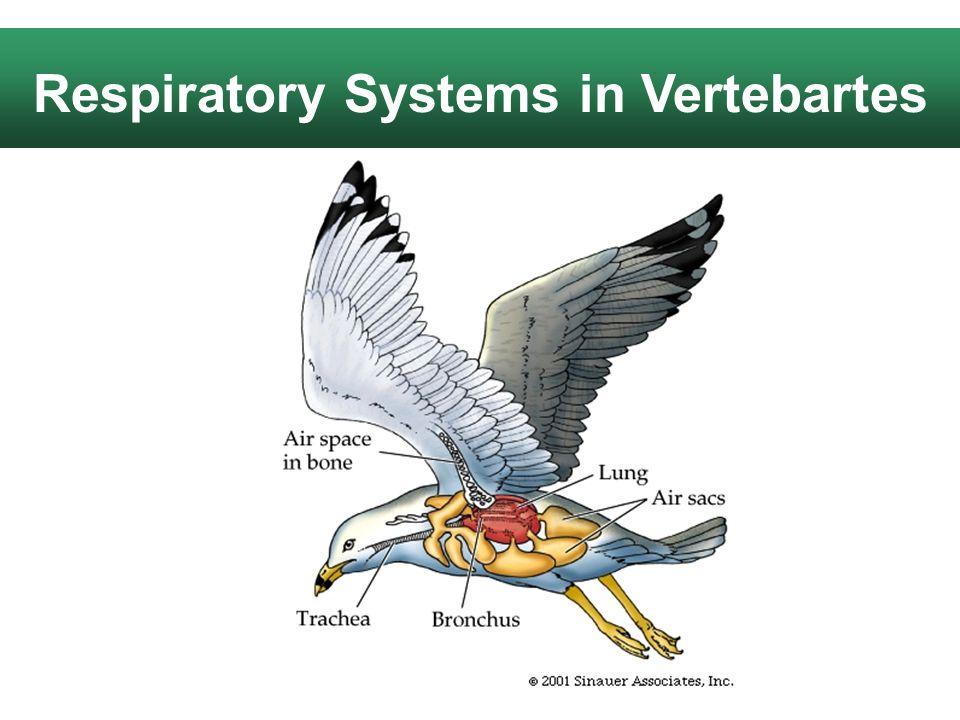 Respiratory Systems in Vertebartes