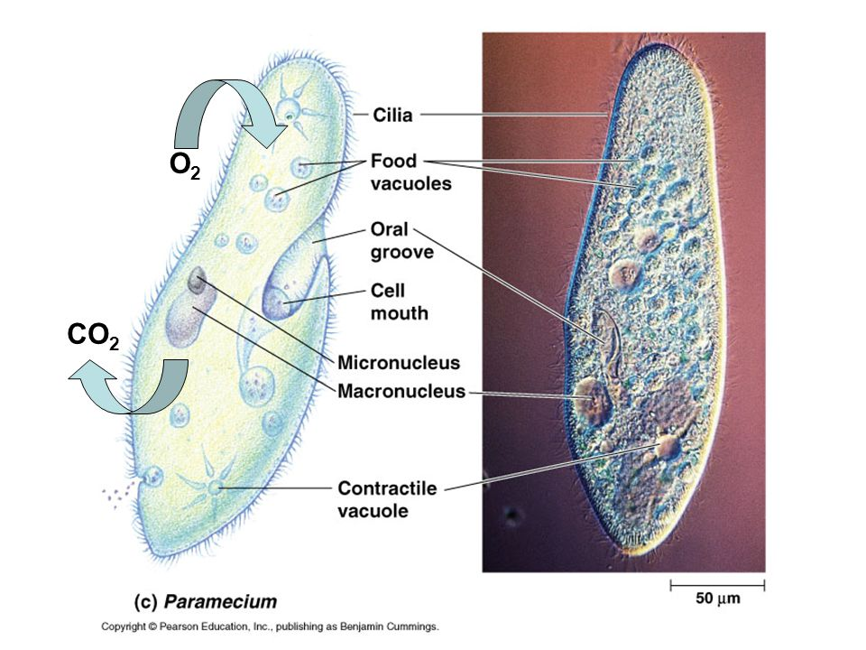 Gas Exchange in Hydra Respiratory surface is cell membrane.