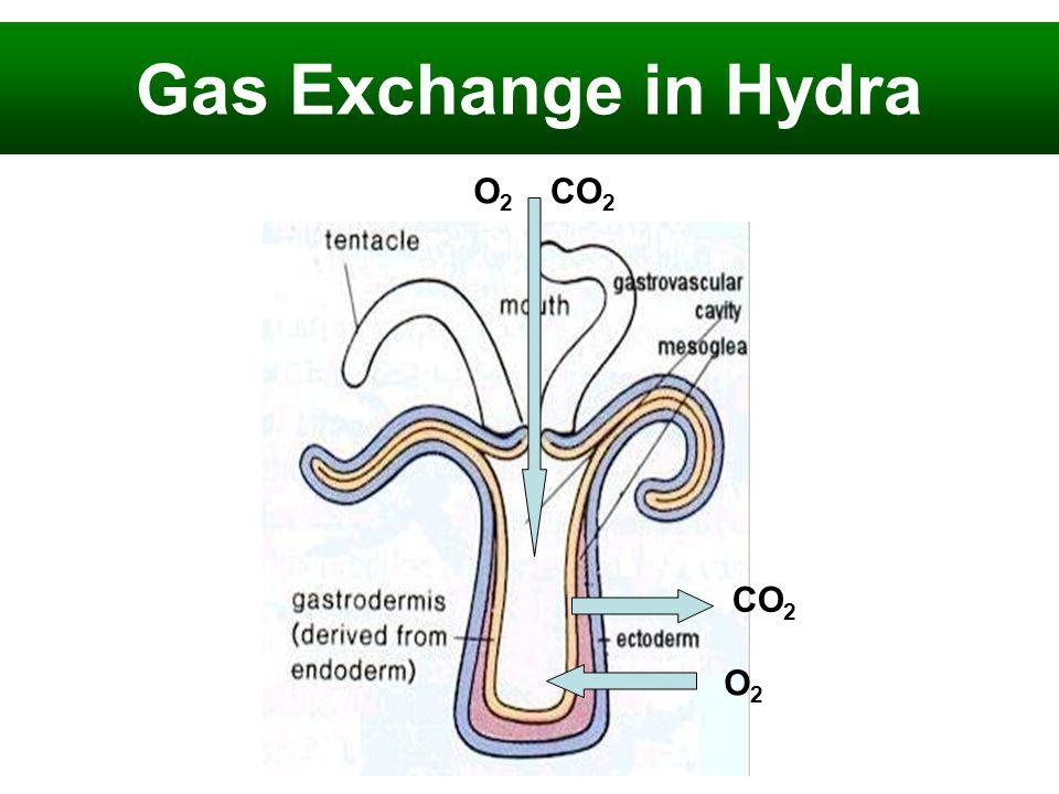 Gas Exchange in Hydra CO 2 O2O2 O2O2