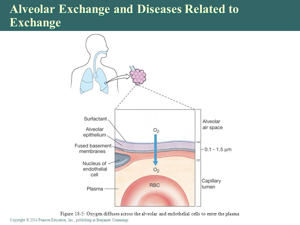 Copyright © 2004 Pearson Education, Inc., publishing as Benjamin Cummings Alveolar Exchange and Diseases Related to Exchange Figure 18-5: Oxygen diffu