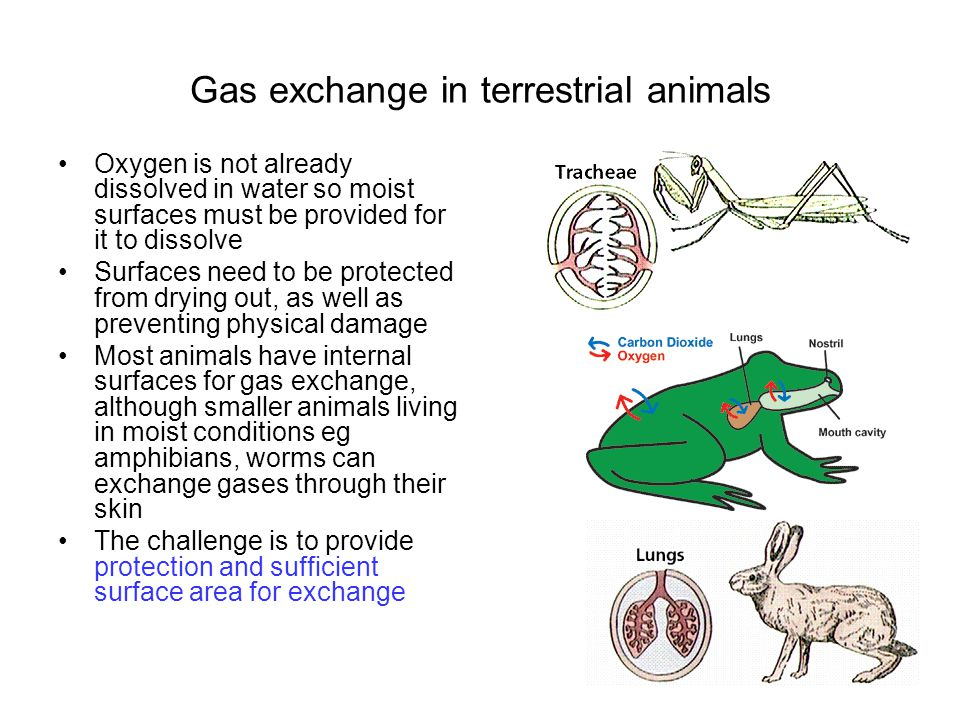 Tracheal systems Many terrestrial animals and some of their aquatic larvae have their respiratory surfaces inside the body and connected to the outside by a series of tubes.
