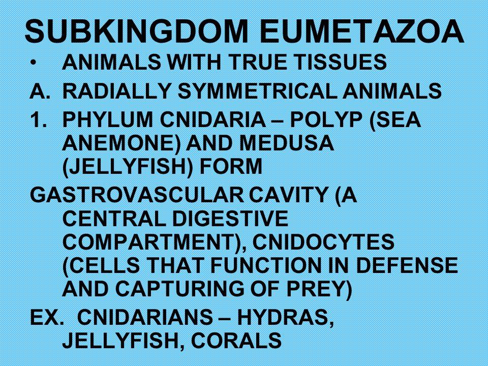 SUBKINGDOM EUMETAZOA ANIMALS WITH TRUE TISSUES A.RADIALLY SYMMETRICAL ANIMALS 1.PHYLUM CNIDARIA – POLYP (SEA ANEMONE) AND MEDUSA (JELLYFISH) FORM GAST