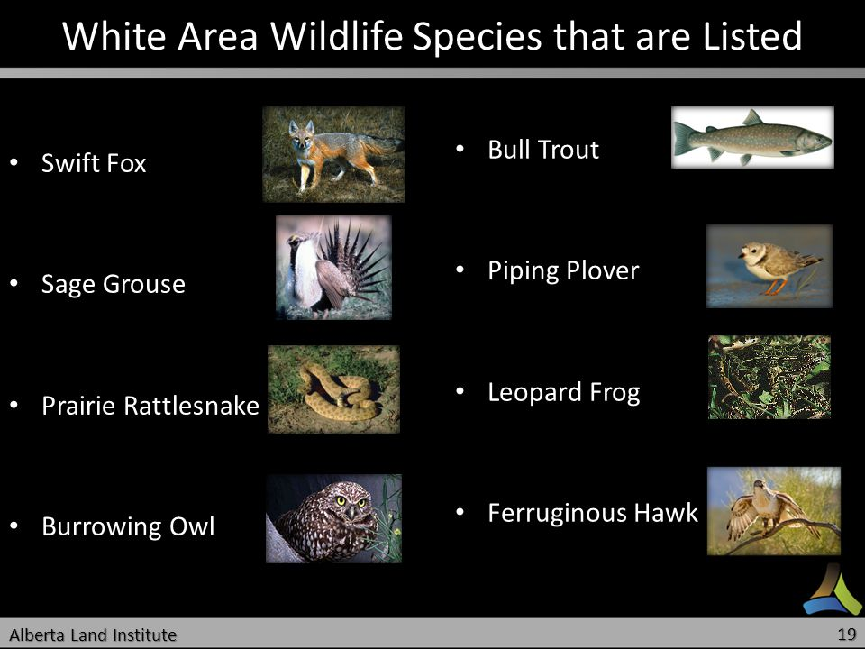 White Area Wildlife Species that are Listed Swift Fox Swift Fox Sage Grouse Sage Grouse Prairie Rattlesnake Prairie Rattlesnake Burrowing Owl Burrowin