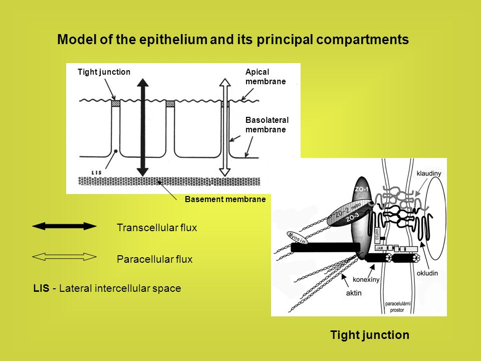 Model of the epithelium and its principal compartments Transcellular flux Paracellular flux LIS - Lateral intercellular space Basement membrane Tight
