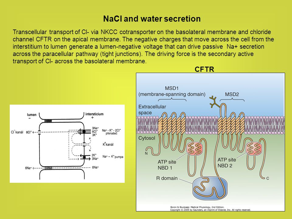 NaCl and water secretion Transcellular transport of Cl- via NKCC cotransporter on the basolateral membrane and chloride channel CFTR on the apical mem