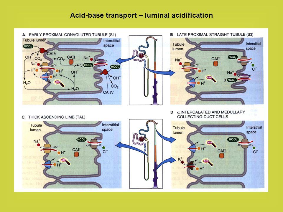 Acid-base transport – luminal alkalinization Exchangers