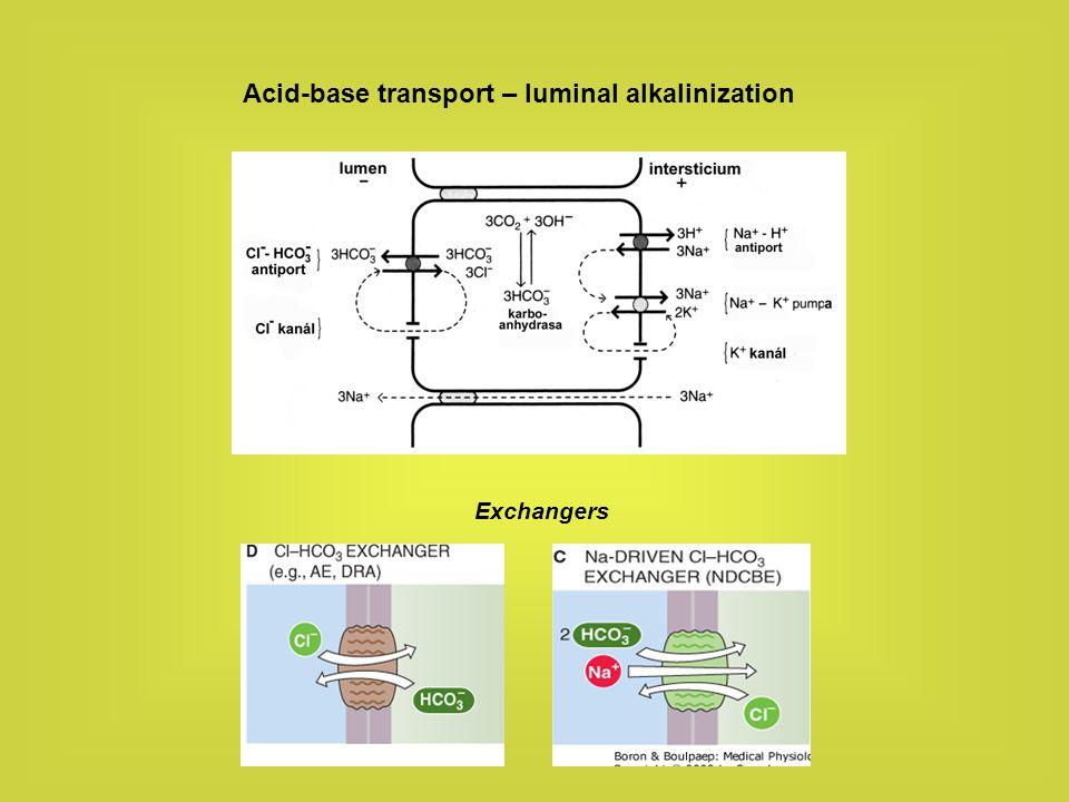 Potassium transport Transcellular secretion: K+ is taken up by Na-K pump across the basolateral membrane to be secreted across the apical membrane via potassium channels.