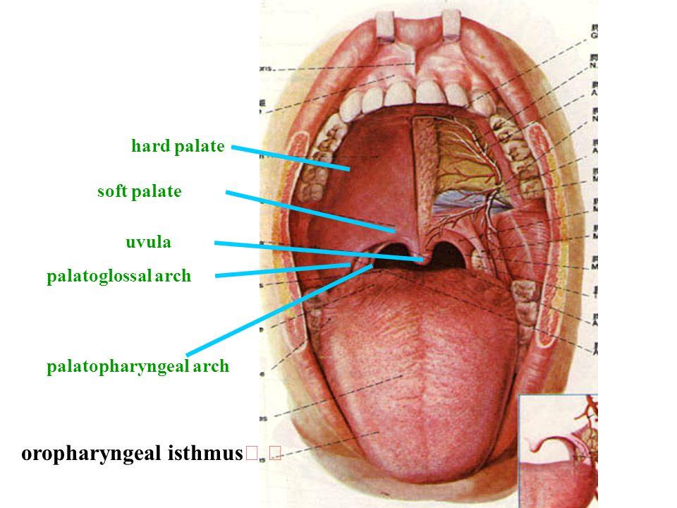 soft palate hard palate uvula palatoglossal arch palatopharyngeal arch oropharyngeal isthmus
