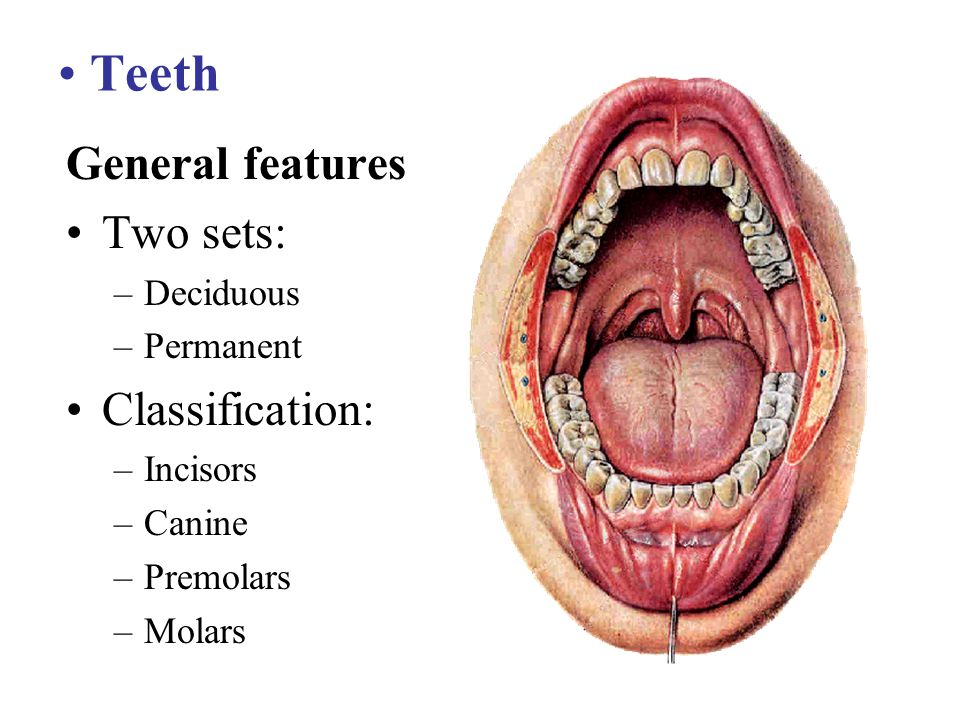 Teeth General features Two sets: –Deciduous –Permanent Classification: –Incisors –Canine –Premolars –Molars