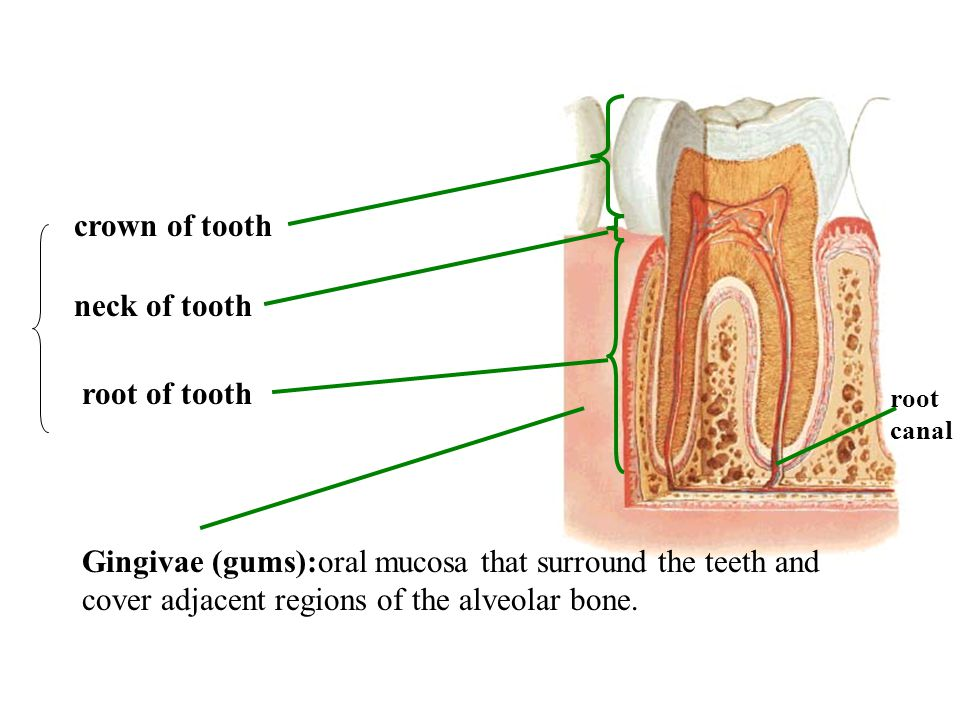 crown of tooth root of tooth neck of tooth root canal Gingivae (gums):oral mucosa that surround the teeth and cover adjacent regions of the alveolar b