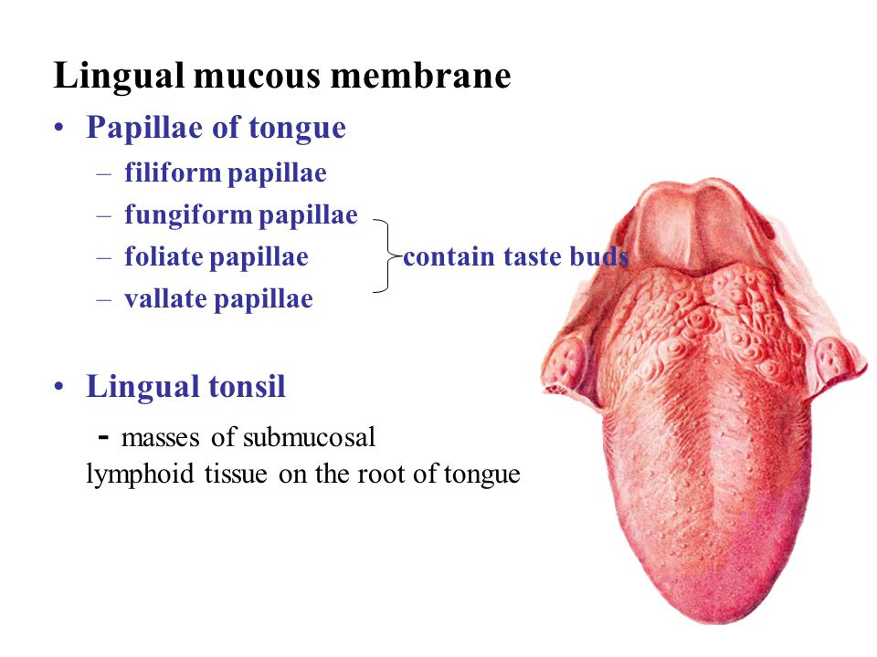 Lingual mucous membrane Papillae of tongue –filiform papillae –fungiform papillae –foliate papillae contain taste buds –vallate papillae Lingual tonsi