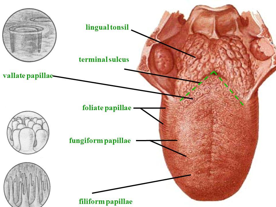 lingual tonsil vallate papillae terminal sulcus foliate papillae fungiform papillae filiform papillae