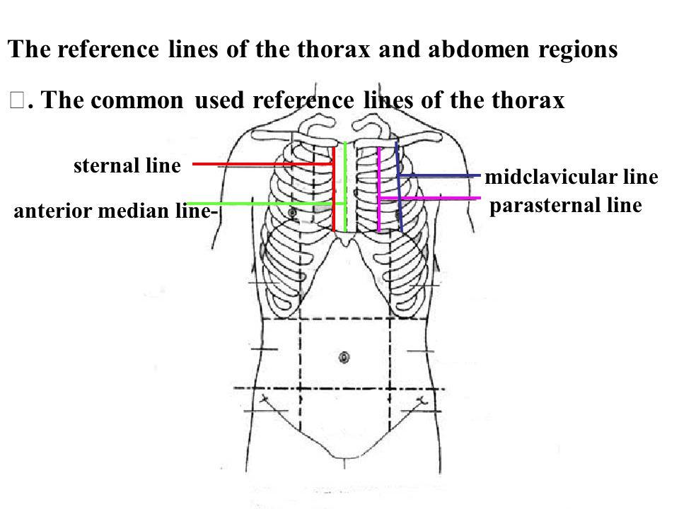 anterior median line- sternal line midclavicular line parasternal line. The common used reference lines of the thorax The reference lines of the thora