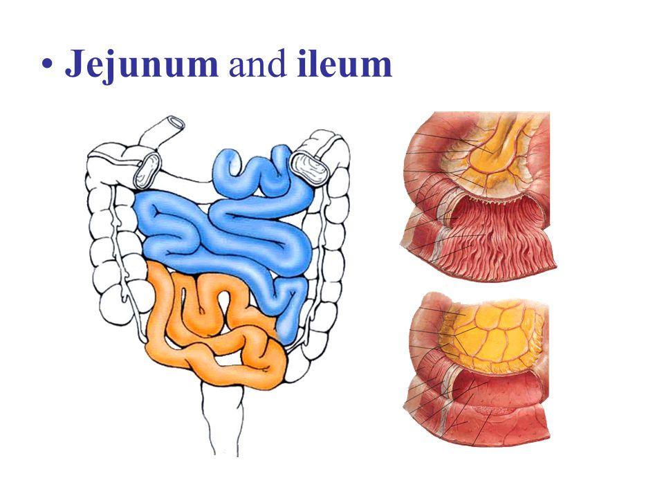 Jejunum and ileum