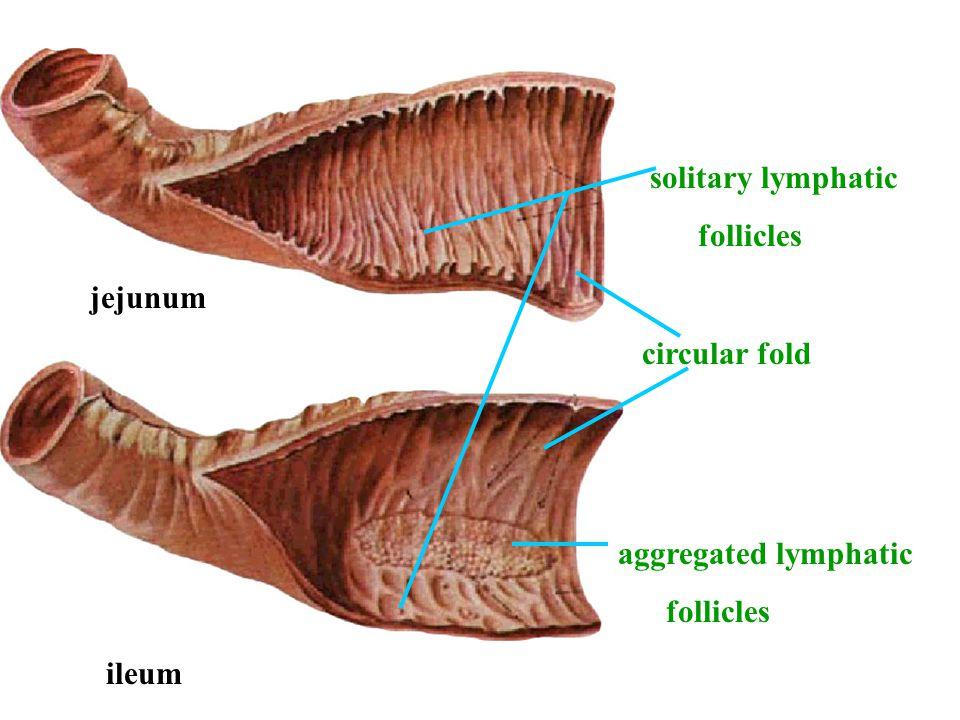 circular fold aggregated lymphatic follicles solitary lymphatic follicles jejunum ileum