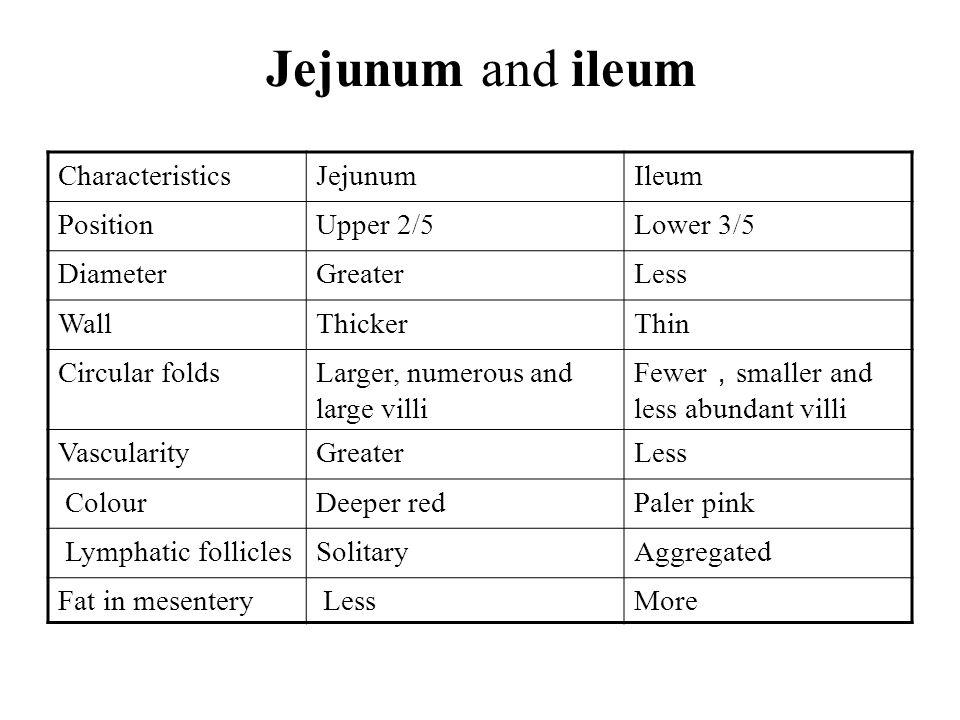 Jejunum and ileum CharacteristicsJejunumIleum PositionUpper 2/5Lower 3/5 DiameterGreaterLess WallThickerThin Circular foldsLarger, numerous and large