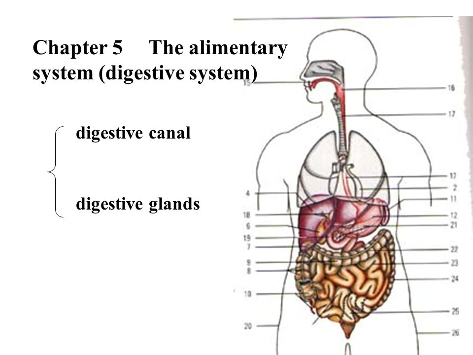 Composition Digestive canal Mouth Pharynx Esophagus Stomach Small intestine Large intestine Duodenum Jejunum Ileum Digestive glands Superior digestive canal Inferior digestive canal Major salivary glands Liver Pancreas Function : ingestion, digestion, absorption, egesting