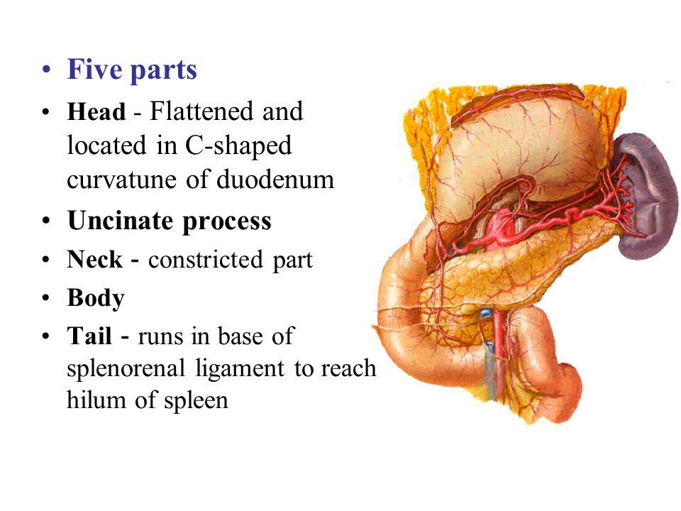 Five parts Head - Flattened and located in C-shaped curvatune of duodenum Uncinate process Neck constricted part Body Tail runs in base of splenorenal