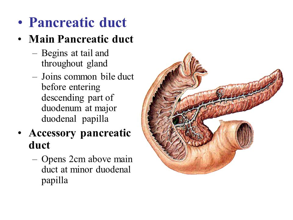 Pancreatic duct Main Pancreatic duct –Begins at tail and throughout gland –Joins common bile duct before entering descending part of duodenum at major
