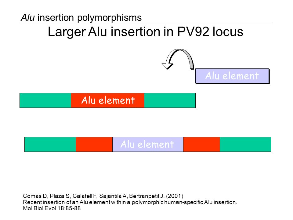 Alu element Alu insertion polymorphisms Larger Alu insertion in PV92 locus Comas D, Plaza S, Calafell F, Sajantila A, Bertranpetit J.