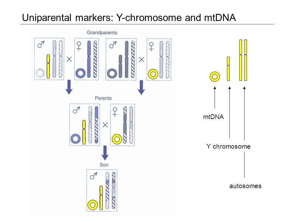 Uniparental markers: Y-chromosome and mtDNA mtDNA autosomes Y chromosome