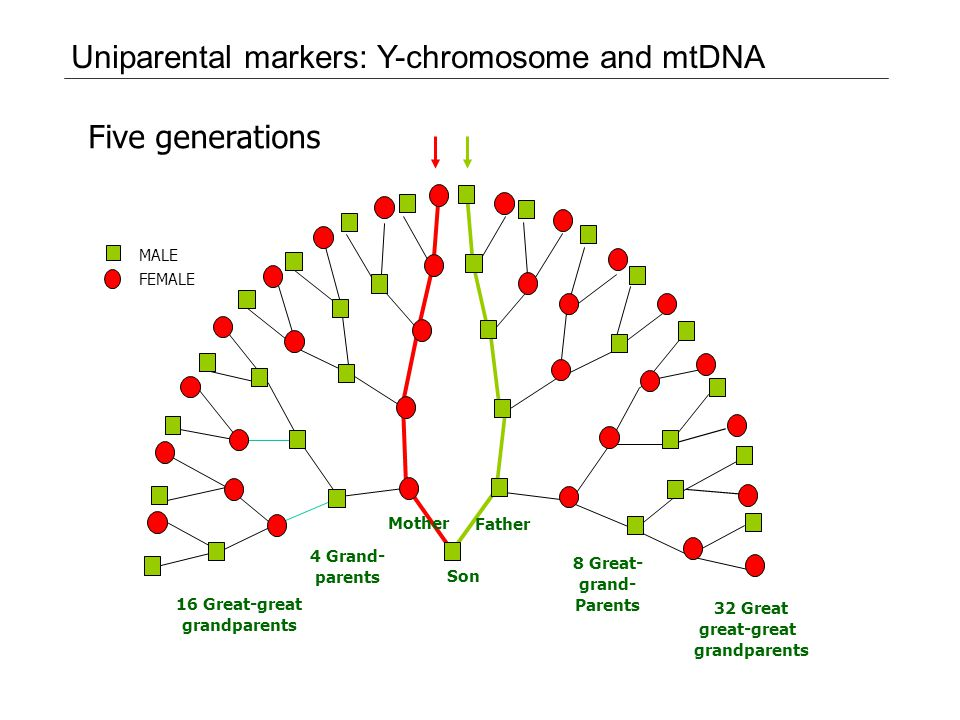 Uniparental markers: Y-chromosome and mtDNA Five generations MALE FEMALE 16 Great-great grandparents Son Father Mother 4 Grand- parents 8 Great- grand