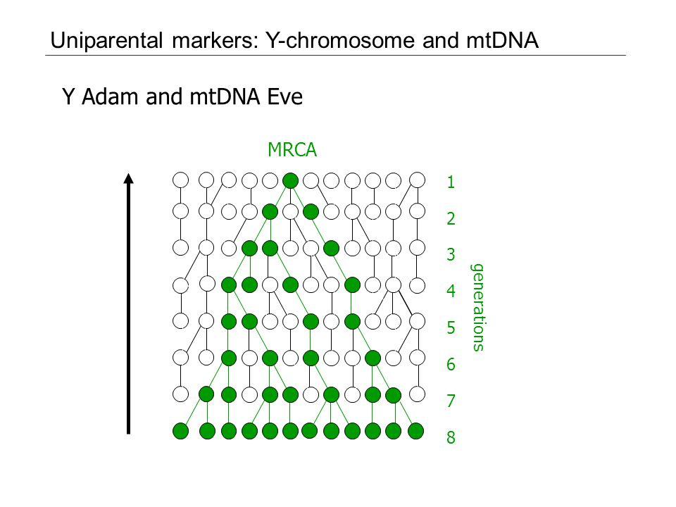 Uniparental markers: Y-chromosome and mtDNA Y Adam and mtDNA Eve 2 3 4 5 6 7 8 1 generations MRCA