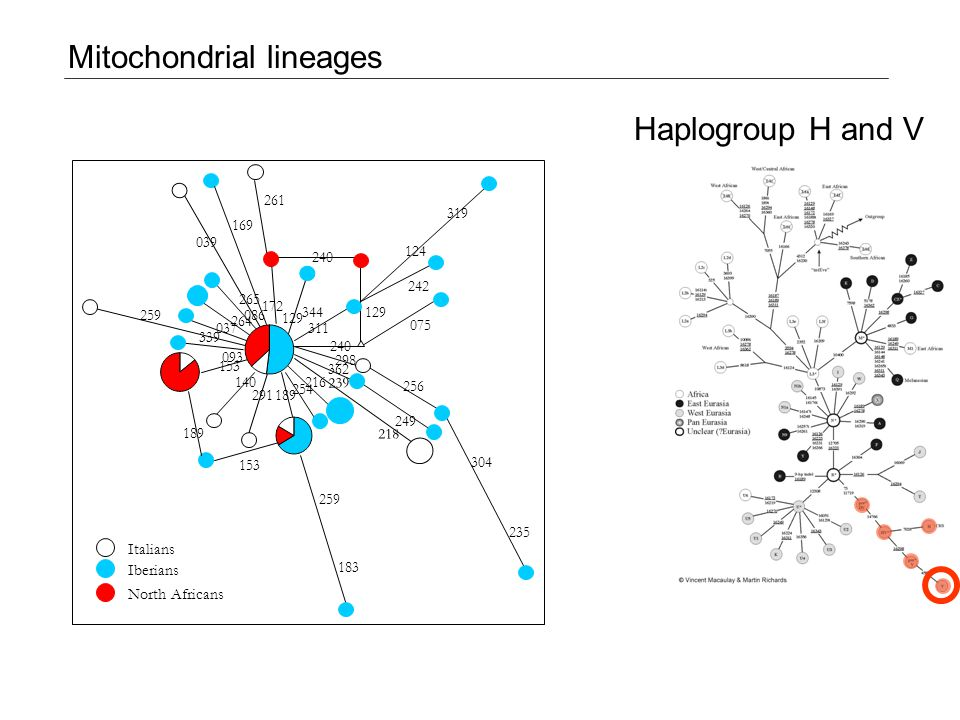 H V HV Mitochondrial lineages Haplogroup H and V 153 189 075 240 259 183 189 254 216140 291 249 362 298 256 304 235 153 093 259 037 264 086 172 344 311 129 242 124 319 039 240 261 169 339 265 129 218 239 Italians Iberians North Africans