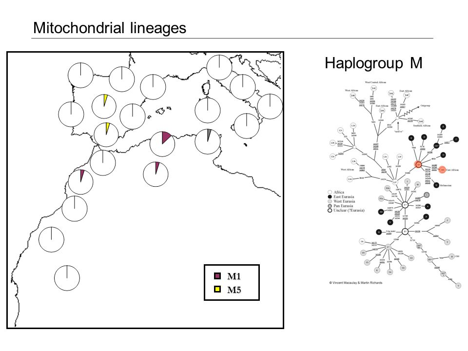M1 Mitochondrial lineages Haplogroup M M5