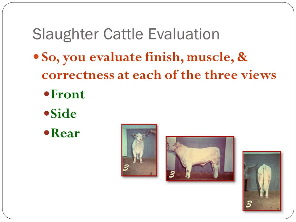 Slaughter Cattle Evaluation So, you evaluate finish, muscle, & correctness at each of the three views Front Side Rear