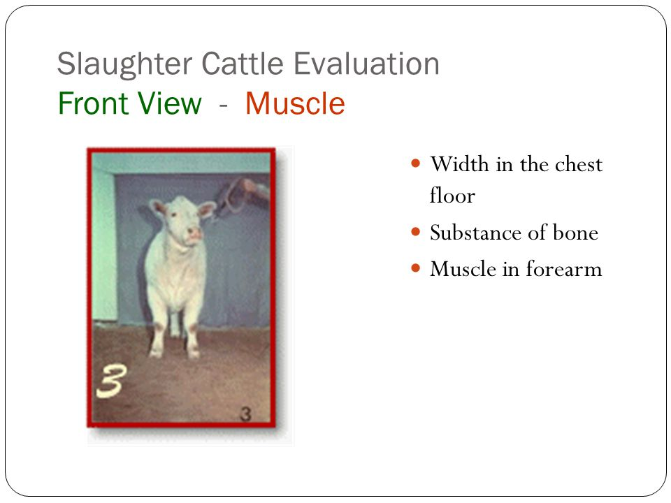 Slaughter Cattle Evaluation Front View - Muscle Width in the chest floor Substance of bone Muscle in forearm