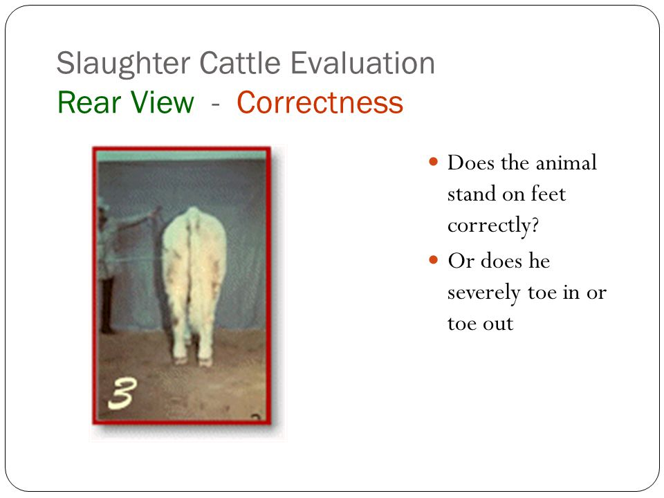 Slaughter Cattle Evaluation Rear View - Correctness Does the animal stand on feet correctly.