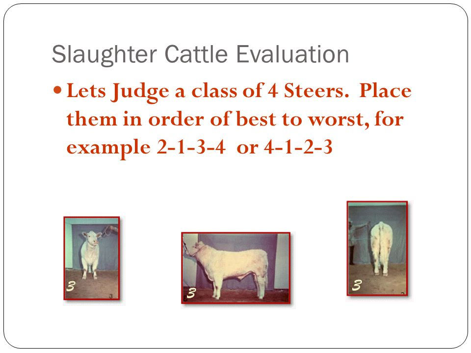 Slaughter Cattle Evaluation Lets Judge a class of 4 Steers.
