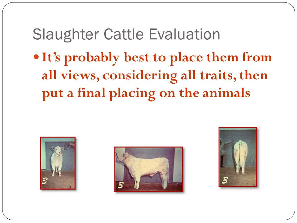 Slaughter Cattle Evaluation Its probably best to place them from all views, considering all traits, then put a final placing on the animals