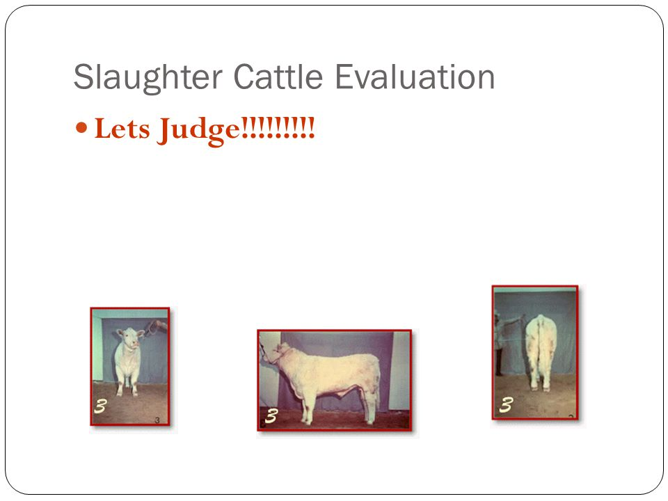 Slaughter Cattle Evaluation Lets Judge!!!!!!!!!