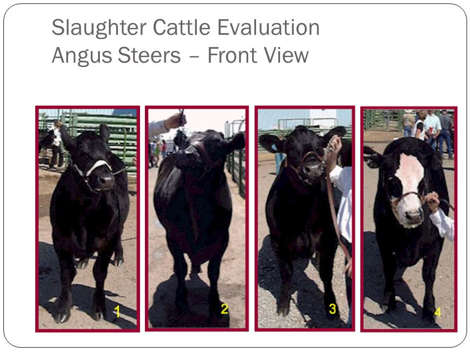 Slaughter Cattle Evaluation Angus Steers – Front View