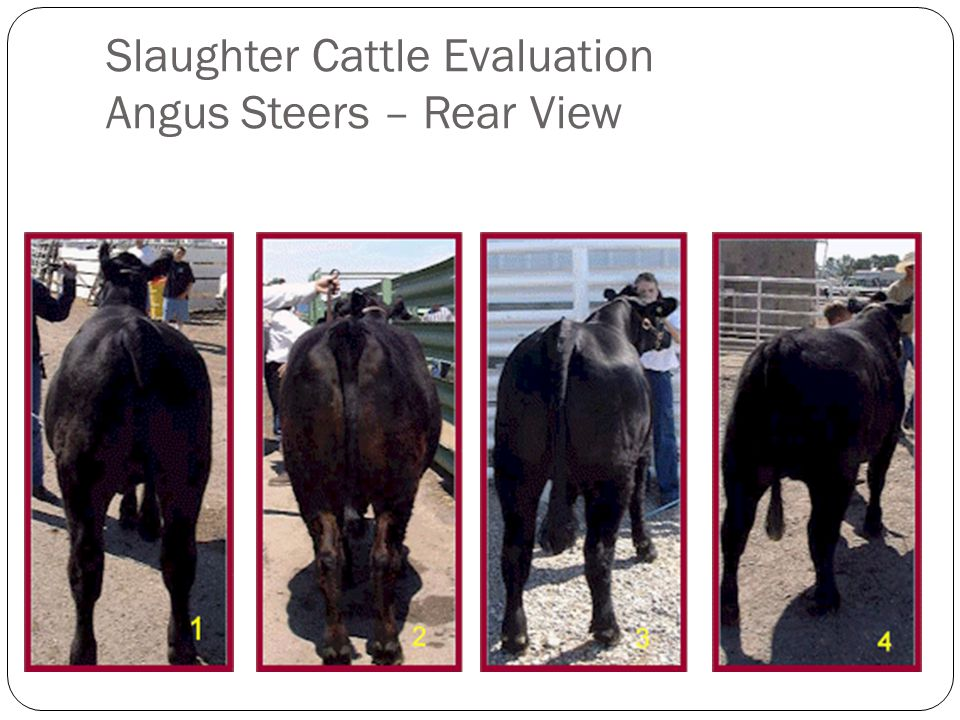Slaughter Cattle Evaluation Angus Steers – Rear View
