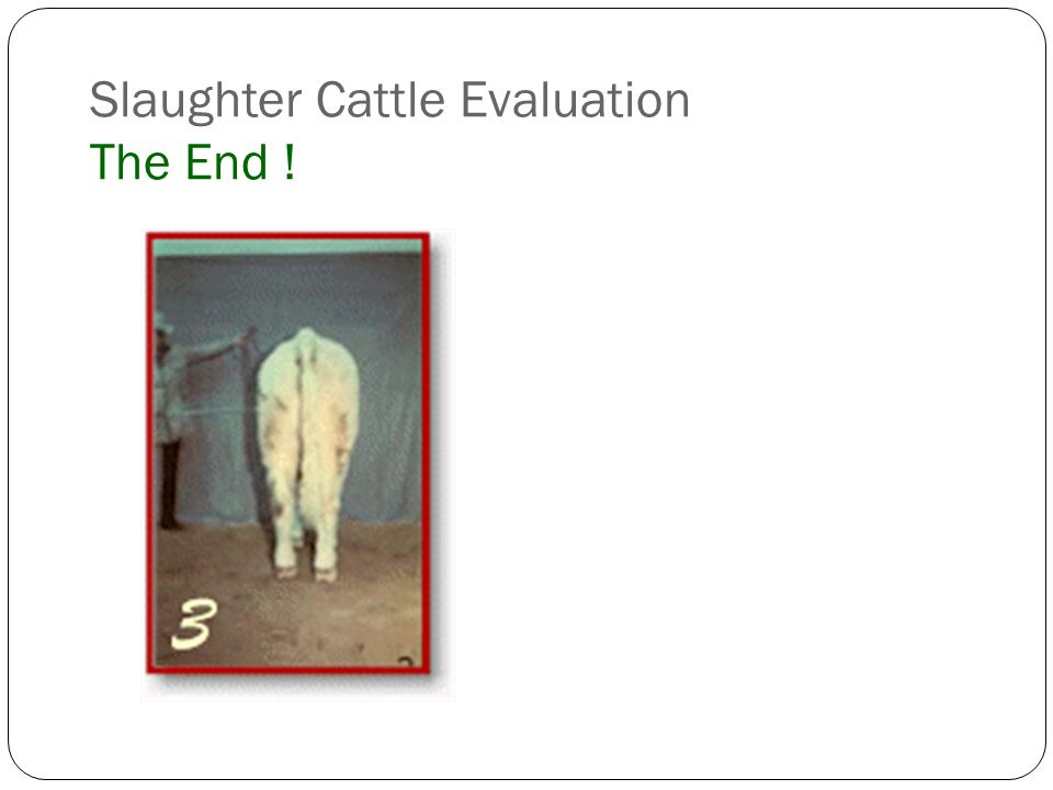 Slaughter Cattle Evaluation The End !