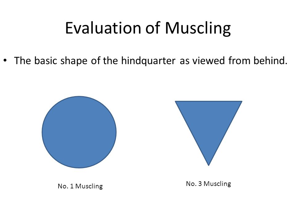 Evaluation of Muscling The basic shape of the hindquarter as viewed from behind. No. 1 Muscling No. 3 Muscling