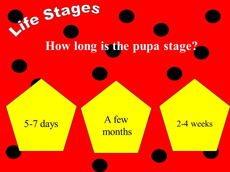The life stages of a ladybug are: Egg larvapupaadult Pupa egglarvaadult