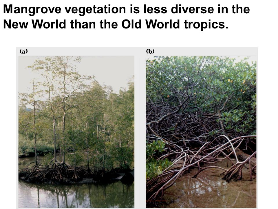 Mangrove vegetation is less diverse in the New World than the Old World tropics.