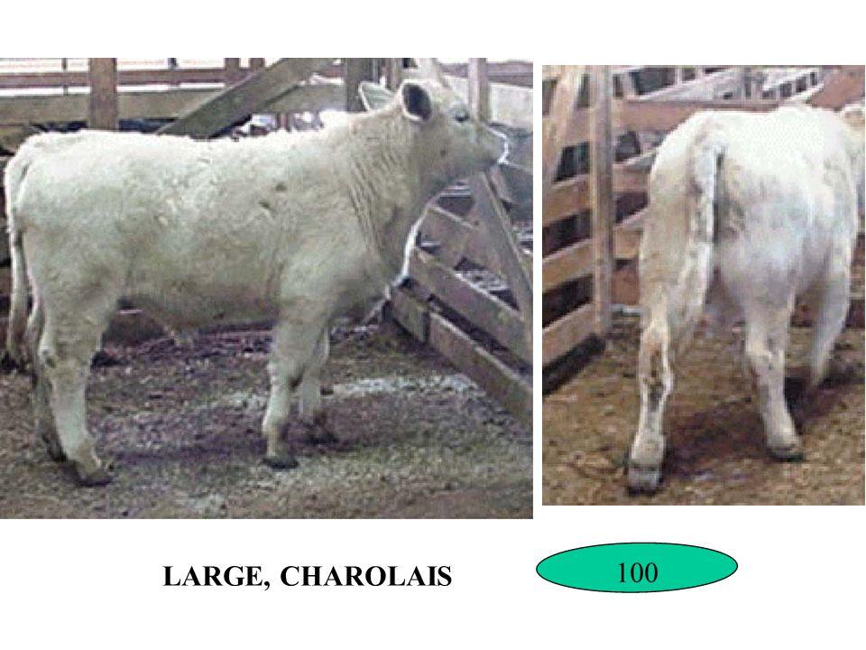 LARGE, CHAROLAIS 100