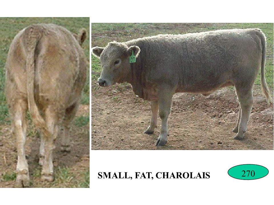 SMALL, FAT, CHAROLAIS 270