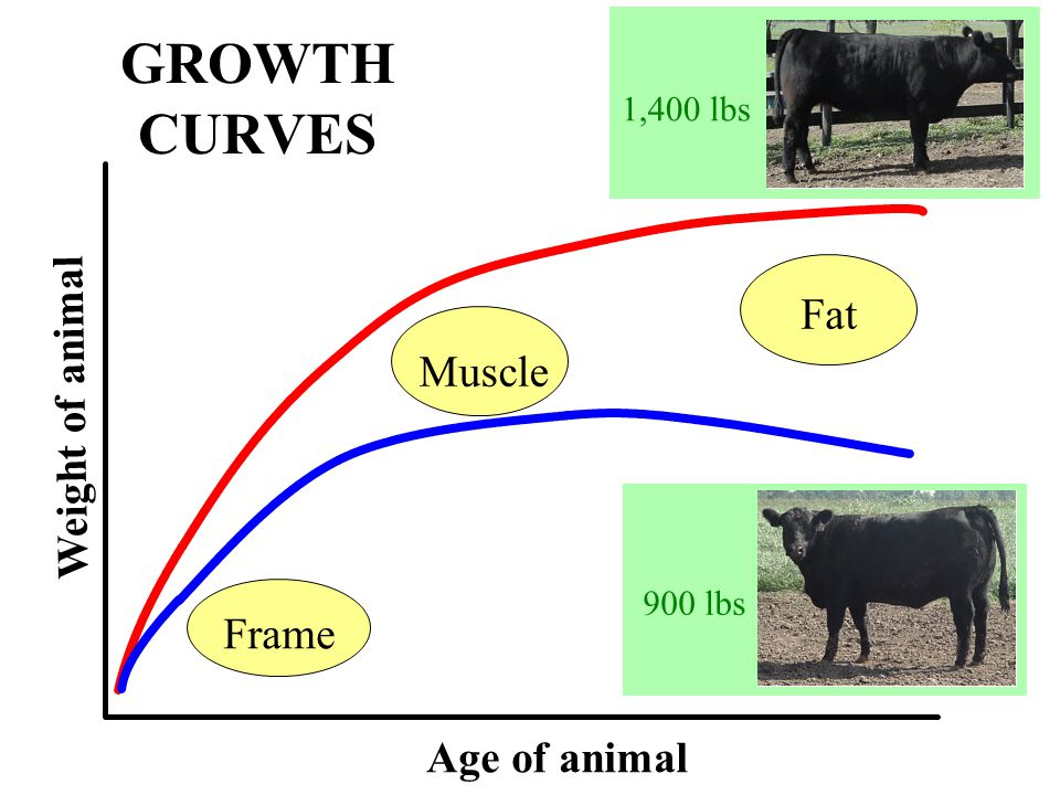 GROWTH CURVES Frame Age of animal Weight of animal Muscle Fat 900 lbs 1,400 lbs