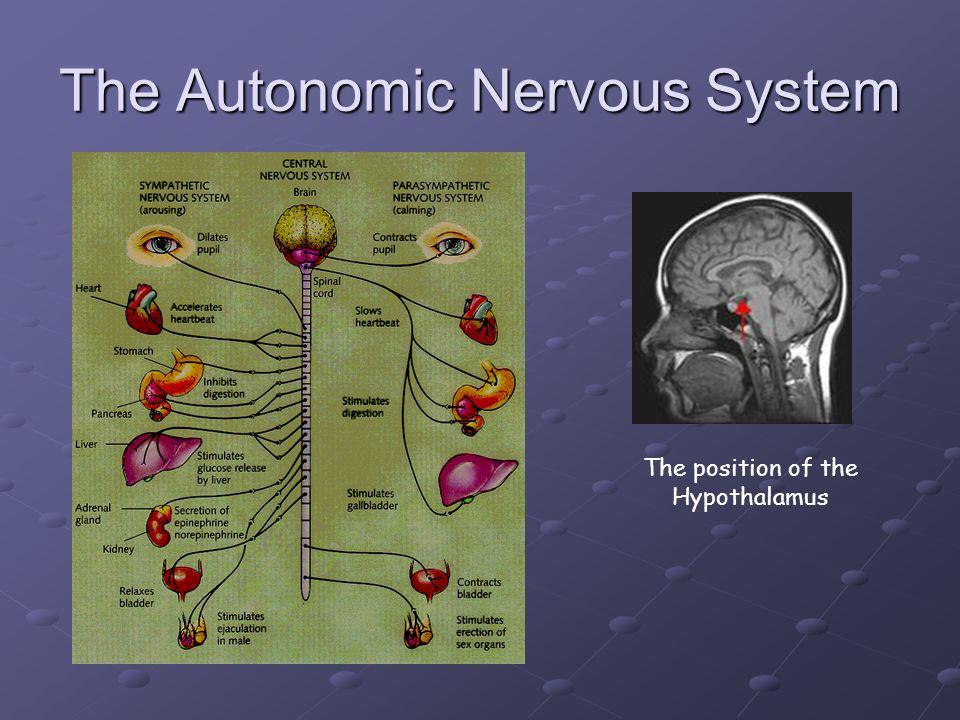 The Autonomic Nervous System The position of the Hypothalamus