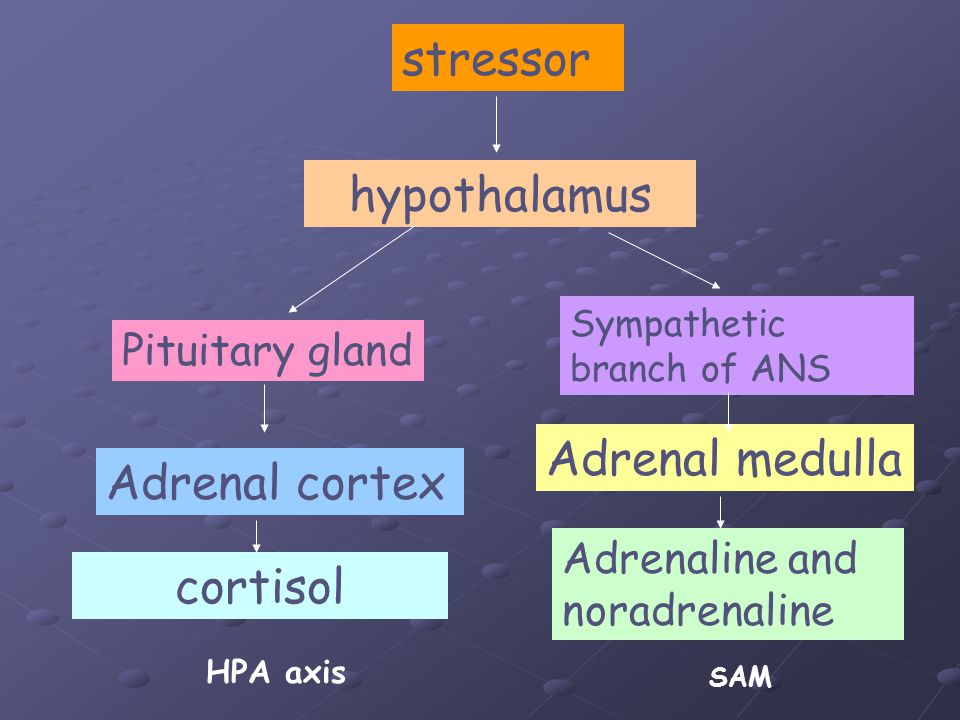 stressor hypothalamus Pituitary gland Adrenal cortex cortisol HPA axis Sympathetic branch of ANS Adrenal medulla Adrenaline and noradrenaline SAM