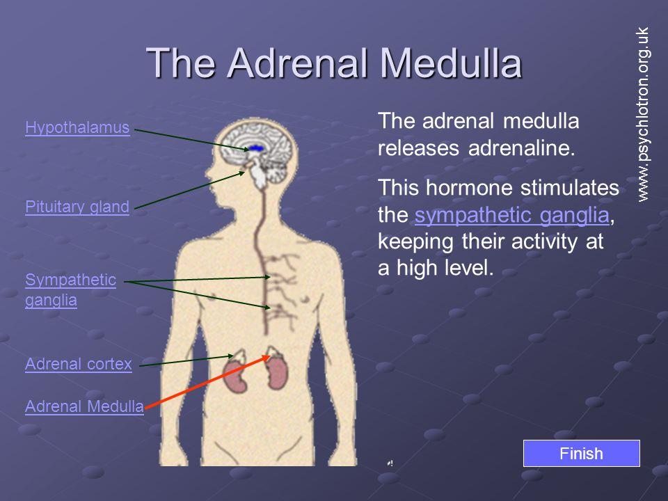 The Adrenal Medulla Hypothalamus Pituitary gland Adrenal cortex Adrenal Medulla The adrenal medulla releases adrenaline.