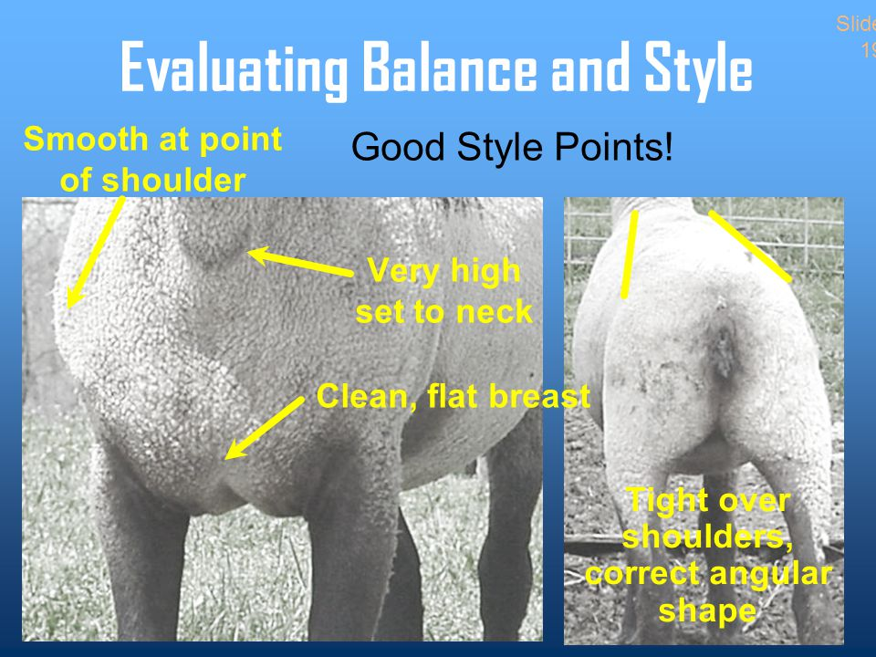 Evaluating Balance and Style Clean, flat breast Smooth at point of shoulder Very high set to neck Tight over shoulders, correct angular shape Slide 19 Good Style Points!
