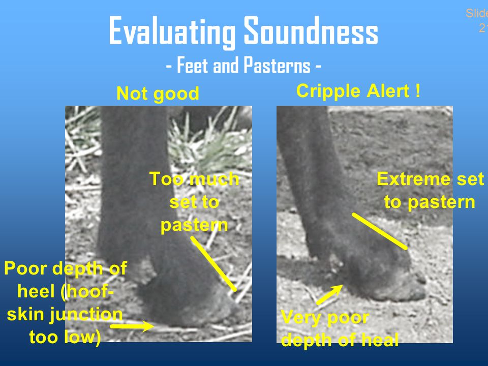 Evaluating Soundness - Feet and Pasterns - Not good Too much set to pastern Poor depth of heel (hoof- skin junction too low) Cripple Alert .